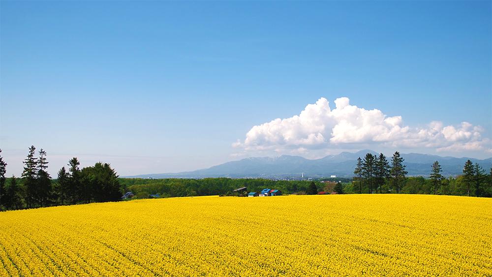 北海道滝川市菜の花畑ドローン空撮画像